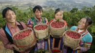 那應該是飄著茶香的國度,卻興起了咖啡的香氣,越過濃密的茶樹後,卻見一叢叢紅色果實的林木。雲南 […]