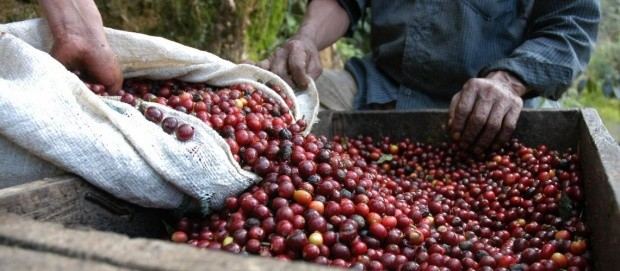 Huehuetenango coffee 1