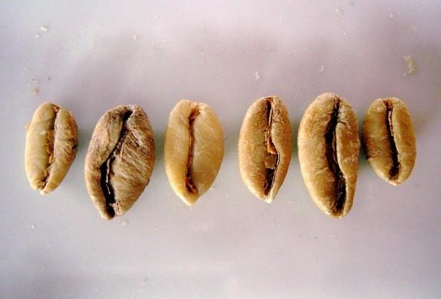 Liberica coffee 2