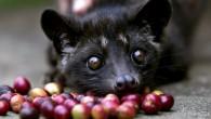 高昂尊貴的咖啡,特殊的香味迷繞,令人癡迷。 麝香貓咖啡又名貓屎咖啡,是由印尼椰子貓(一種麝香 […]