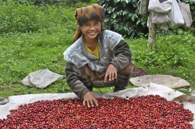 Sulawesi Coffee 3
