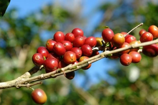 coffee Golden Mandheling 1