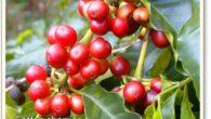 古坑咖啡屬阿拉比卡種,因為烘焙、萃取的方法與時間與其他咖啡產地不同,獨具風味,因此被譽為「台 […]